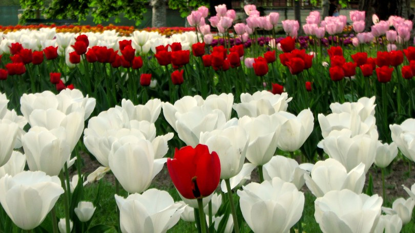 bed of tulips, blooming tulips, blossoms, colours, Europe, Eurotrip, flowers, Geneva, Lake Geneva, lakeside, Morges, Morges Tulip Festival, pink tulips, red tulips, romantic, Swiss, Swiss Alps, Switzerland, Tulip Festival, tulip garden, tulips, white tulips, yatchs